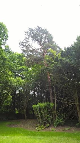 Pin sylvestre – Woluwé-Saint-Pierre, Parc Parmentier, Avenue de Tervueren, 380 –  22 Mai 2018