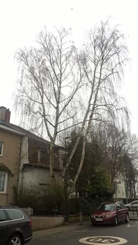 Bouleau verruqueux – Woluwé-Saint-Pierre, Avenue du Chant d'Oiseau, 30 –  25 Janvier 2019