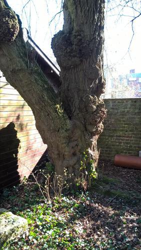Erable à feuilles de frêne – Uccle, Rue Edith Cavell, 107 –  26 Février 2019