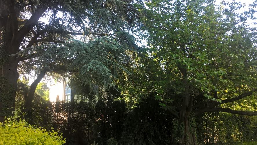 Cèdre bleu de l'Atlas – Uccle, Jardin de la villa Coene, Avenue Jean et Pierre Carsoel, 198 –  23 Mai 2019