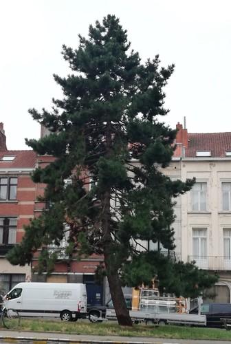 Pin noir – Ixelles, Rue Guillaume Stocq –  22 Août 2019