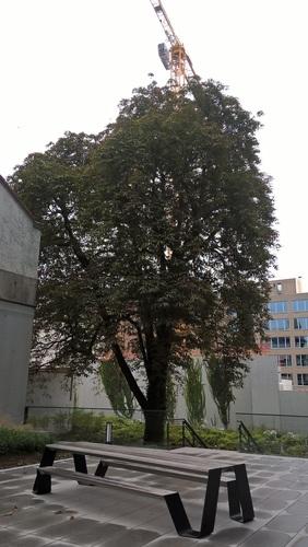 Marronnier commun – Etterbeek, Rue Belliard, 40 –  15 Octobre 2019
