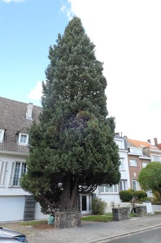 Dwerg- of schijncipres – St.- Agatha - Berchem, René Comhairelaan, 50 –  19 November 2019