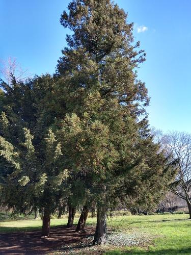 Cèdre de Tasmanie – Jette, Parc Roi Baudouin phase 1 –  05 Mars 2021