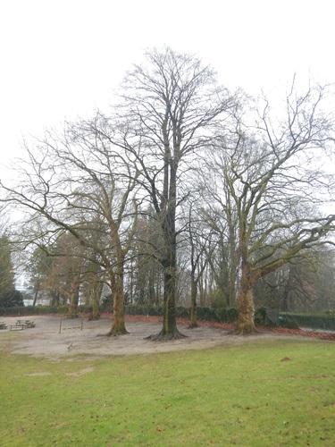Hêtre pourpre – Jette, Bois du Poelbos –  07 Janvier 2020
