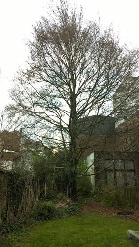 Bouleau verruqueux – Watermael-Boitsfort, Avenue du Bois de la Cambre, 20 –  15 Janvier 2020