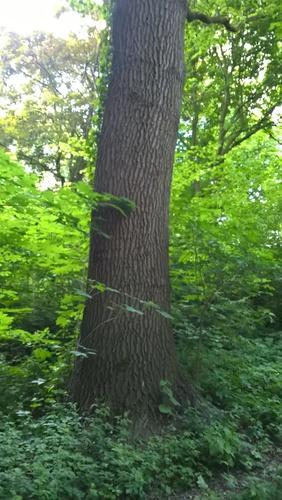 Chêne pédonculé – Bruxelles, Parc du Kluis ou parc Meudon, Rue de Meudon –  14 Mai 2020