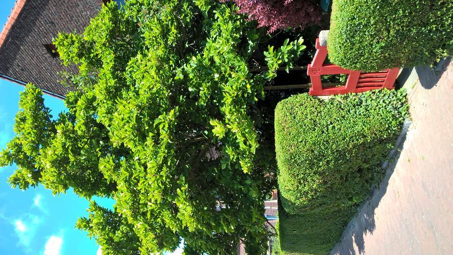 Magnolier de Soulange – Ganshoren, Square du Centenaire, Square du Centenaire, 24 –  19 Mai 2020
