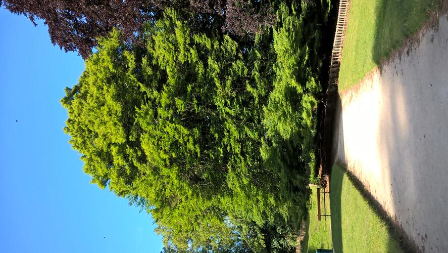 Fagus sylvatica 'Laciniata'<br>Forest Parc Duden