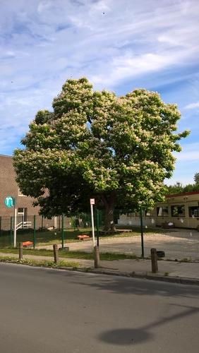 Catalpa commun – Uccle, Rue Egide Van Ophem, 5 –  16 Juin 2020