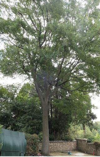 Chêne sessile – Bruxelles, Avenue de la Clairière, 11 - D3 –  23 Septembre 2020