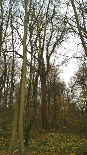 Chêne sessile<br>Bruxelles Bois de la Cambre