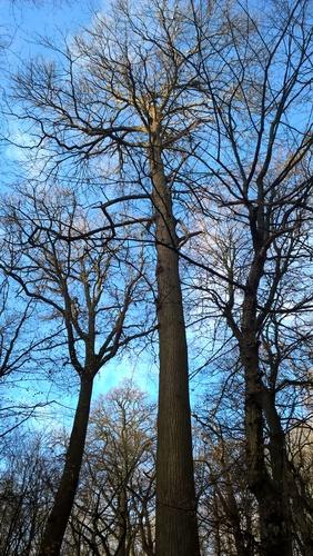 Châtaignier – Bruxelles, Bois de la Cambre –  17 Décembre 2020