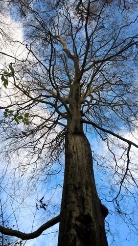 Hêtre d'Europe – Bruxelles, Bois de la Cambre, Allée du Turf –  17 Décembre 2020