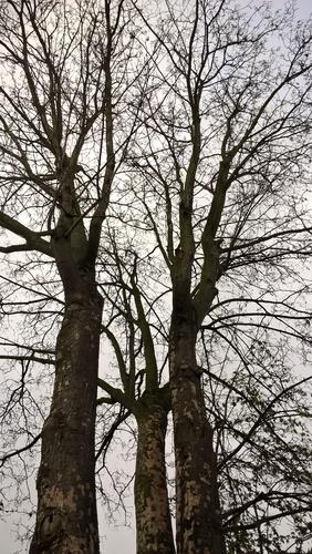 Gewone esdoorn – Etterbeek, Koningsveldstraat, 100 –  22 December 2020