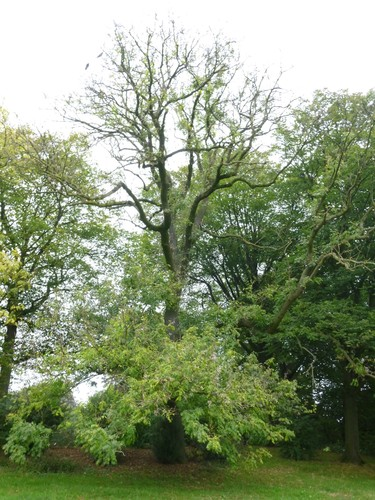Fraxinus excelsior var. elegantissima – Bruxelles, Parc public de Laeken –  09 Octobre 2014