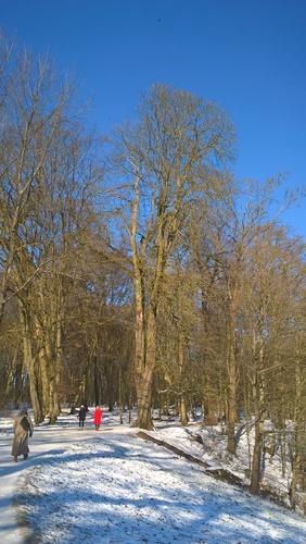 Marronnier commun – Bruxelles, Bois de la Cambre –  11 Février 2021