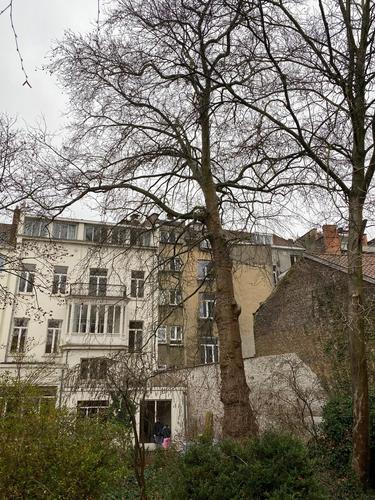 Platane à feuille d'érable – Ixelles, Rue Veydt, 36 –  17 Février 2021