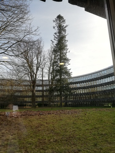Abies sp – Watermael-Boitsfort, Chaussée de La Hulpe, 166 –  25 Février 2021
