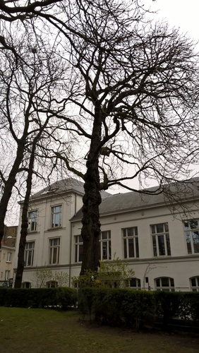 Marronnier commun – Ixelles, Jardin de l'ancien pavillon Malibran –  25 Mars 2021