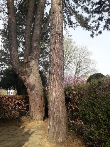 Pin noir d'Autriche – Uccle, Jardin de la maison Grégoire, Dieweg, 292 –  01 Avril 2021