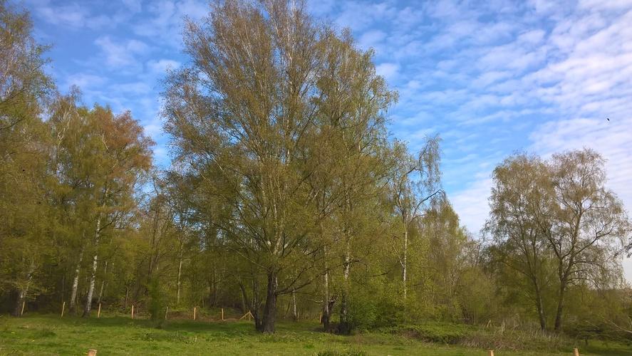 Ruwe, witte, gewone berk – Ukkel, Kauwberg –  27 April 2021