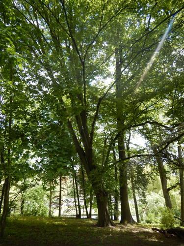 Charme commun – Woluwé-Saint-Pierre, Parc de Woluwe –  18 Mai 2021