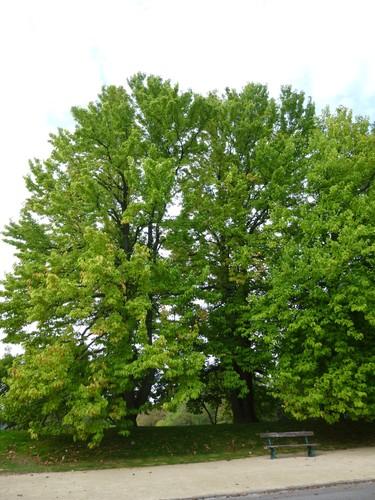 Magnolier à feuilles acuminées<br>Bruxelles Parc public de Laeken