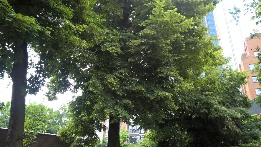 Kleinbladige linde – Brussel, Vleurgatsesteenweg, 112 –  24 Juni 2021