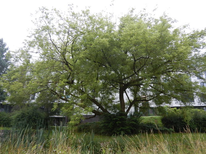 Erable à feuilles de frêne – Uccle, Melkriek  - Keyenbempt, Chaussée d'Alsemberg –  13 Juillet 2021