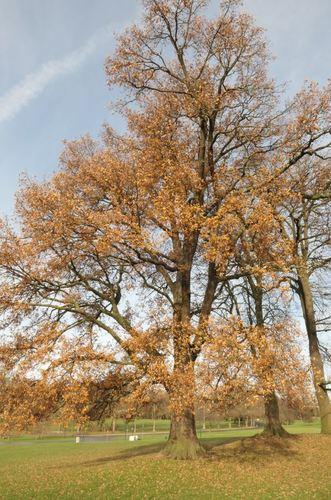 Chêne pubescent<br>Bruxelles Parc public de Laeken