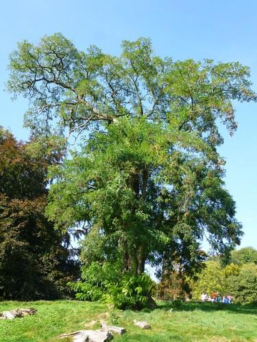 Robinier faux-acacia – Bruxelles, Parc public de Laeken –  18 Septembre 2014
