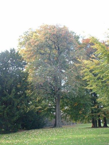 Sorbier de Scandinavie – Bruxelles, Parc public de Laeken, parc –  22 Octobre 2003