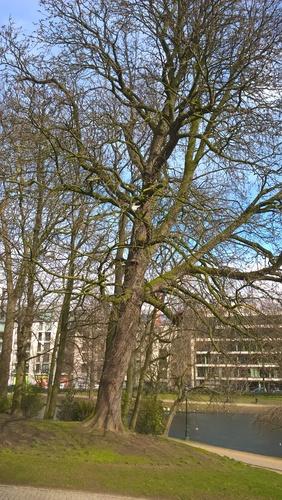 Marronnier commun – Bruxelles, Parc Léopold, parc –  09 Mars 2016