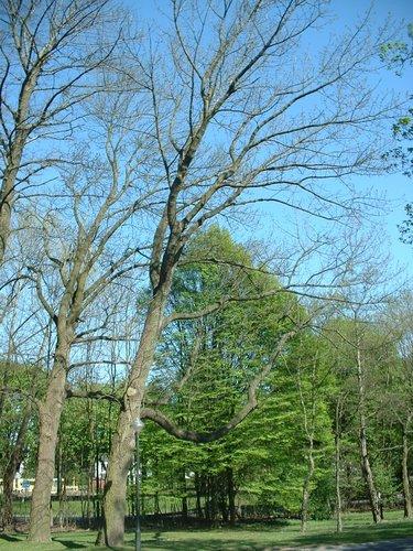 Frêne blanc d'Amérique – Bruxelles, Site de l'avenue de Madrid, Avenue de Madrid, 98 –  17 Avril 2003