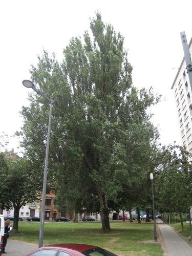 Peuplier grisard – Anderlecht, Square Albert Ier, 1 –  05 Juillet 2010