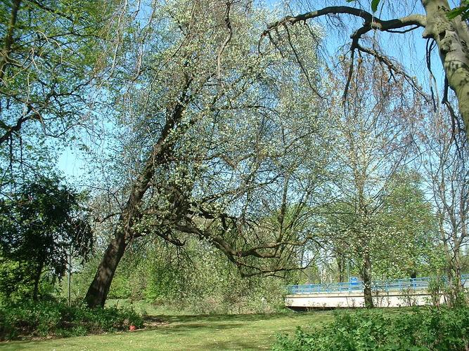 Sorbier blanc/Alouchier – Bruxelles, Site de l'avenue de Madrid, Avenue de Madrid –  17 Avril 2003
