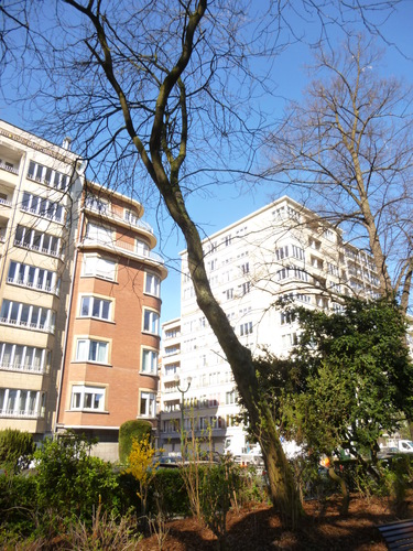 Févier d'Amérique – Bruxelles, Square Ambiorix, Marie Louise, Marguerite et avenue Palmerston, Square Marie-Louise –  20 Mars 2014