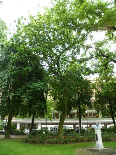 Cladrastis lutea<br>Ixelles Square de Meeûs sur Ixelles