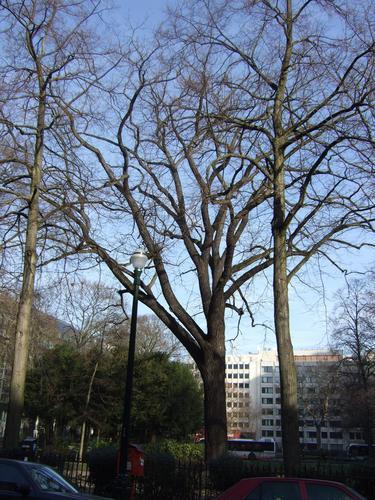 Noyer noir<br>Ixelles Square de Meeûs sur Ixelles