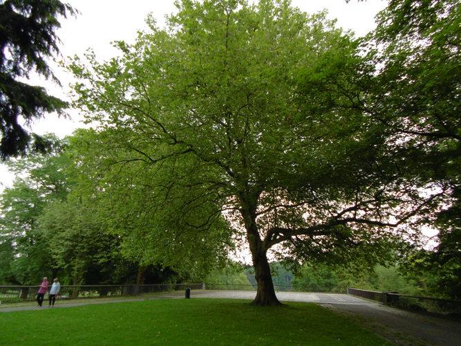 platane à feuille d'érable, bruxelles, parc d'osseghem (platanus x