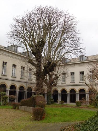 Marronnier du Japon – Bruxelles, Jardins de l'Hospice Pachéco, parc privé –  24 Janvier 2018