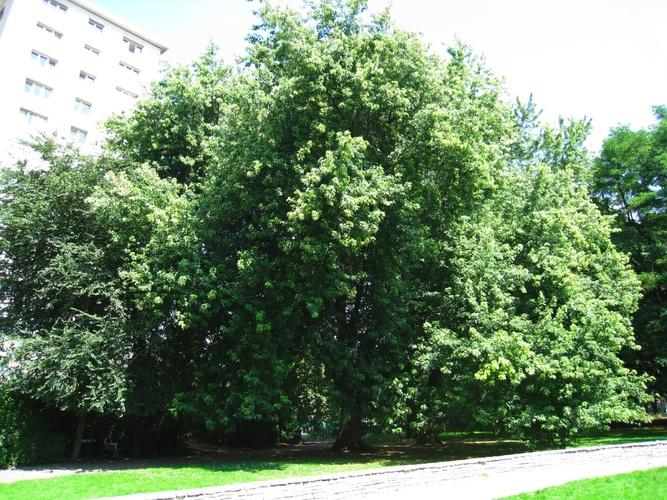 Erable argenté – Anderlecht, Parc Joseph Lemaire, parc –  29 Juillet 2008