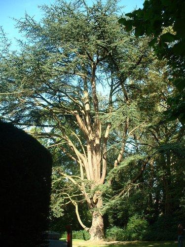 Cèdre du Liban – Bruxelles, Jardin du Pavillon Chinois, parc –  13 Octobre 2006
