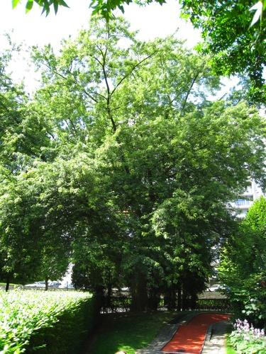 Acer saccharinum var. laciniatum – Anderlecht, Parc Joseph Lemaire, Avenue Guillaume Stassart –  29 Juillet 2008