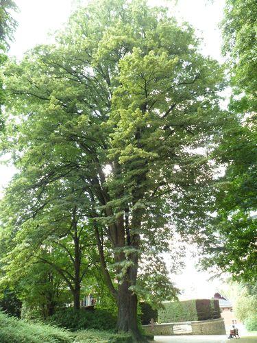 Tilleul argenté – Bruxelles, Jardin du Pavillon Chinois, parc –  23 Août 2012