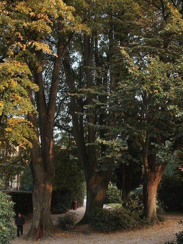 Zilverlinde – Brussel, Tuin van het Chinees Paviljoen –  22 Oktober 2003