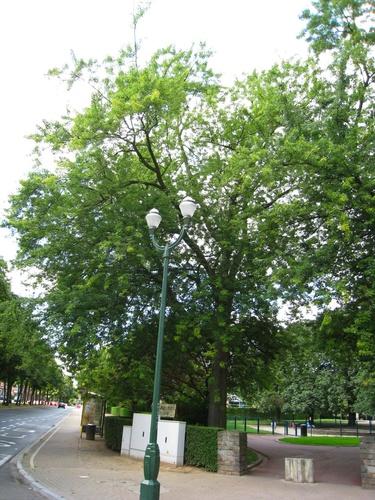 Acer saccharinum var. laciniatum – Anderlecht, Parc Joseph Lemaire, Boulevard Théo Lambert –  29 Juillet 2008