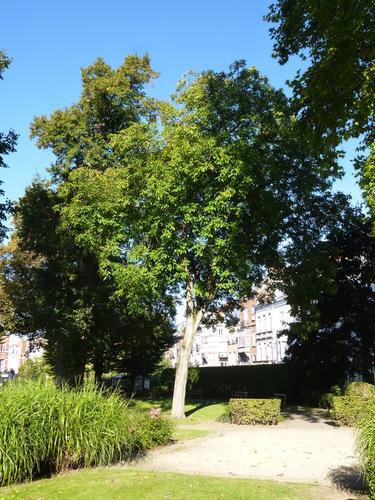 Noyer royal – Bruxelles, Parc du fonds de Pension IBM, Place des Gueux –  29 Septembre 2015