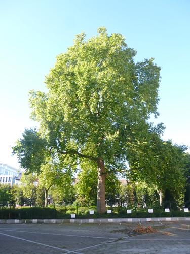 Platane à feuille d'érable – Bruxelles, Parc du fonds de Pension IBM, Rue des Patriotes, 81 –  29 Septembre 2015